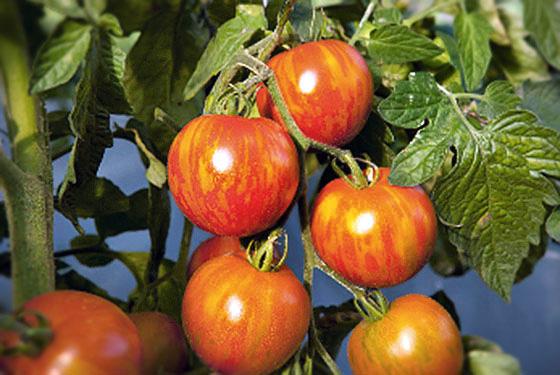 Stadt-Tomaten